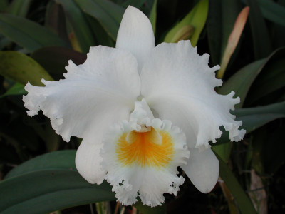 Cattleya Jose Marti 'Mothers Favorite'