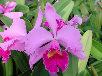 Cattleya Moneymaker