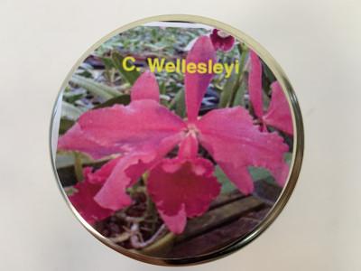 Cattleya Wellesleyi (im sterilen Glas)