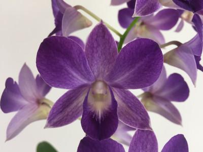 Dendrobium Sa-Nook 'Blue Happiness'