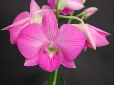 Dendrobium compactum Hybride