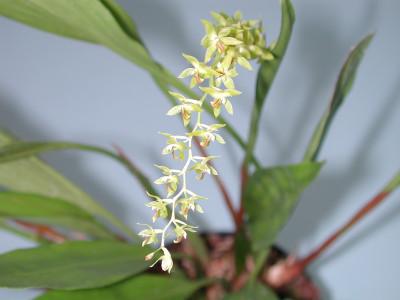 Dendrochilum cobbianum