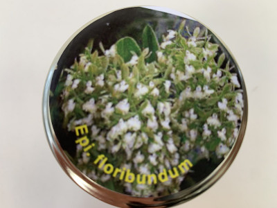 Epidendrum floribundum (im sterilen Glas)