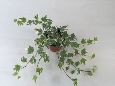 Hedera helix 'Esther'