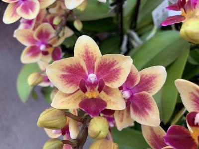 Doritaenopsis Tess