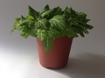 Fittonia Lemon Green