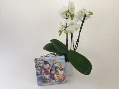 """Phalaenopsis """"Familie Schneemann"""""""