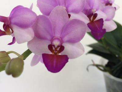 Doritaenopsis Liu's Cute Angel