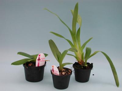 Gratisgeschenk (Orchideen-Jungpflanze)