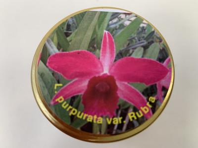Laelia purpurata 'rubra' (im sterilen Glas)