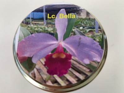 Laeliocattleya Bella (im sterilen Glas)