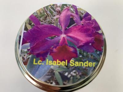 Laeliocattleya Isabel Sander (im sterilen Glas)
