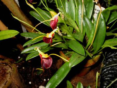 Masdevallia aureopurpurea