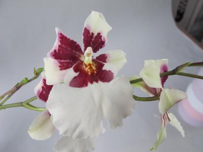 Miltonidium Bartley White (Jgpfl.)