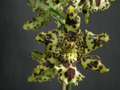 Odontocidium Hansueli Isler