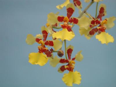 Oncidium foveatum