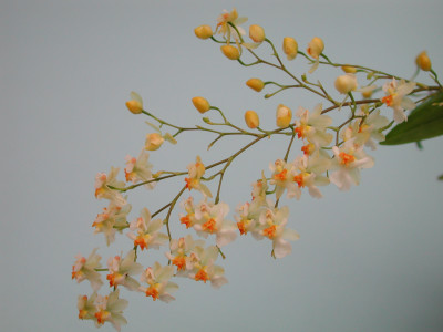 Oncidium Tiny Twinkle 'Fragrance Fantasy'