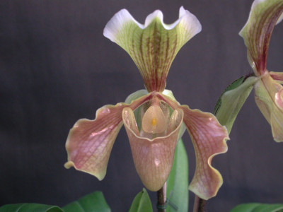 Paphiopedilum Bidborough x villosum