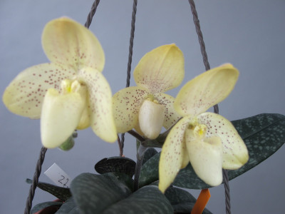 Paphiopedilum concolor (Jgpfl.)