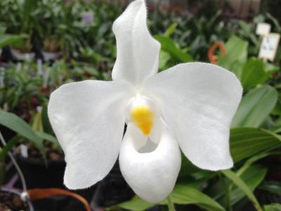 Paphiopedilum delenatii 'alba'
