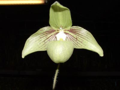 Paphiopedilum malipoense 'jackii'
