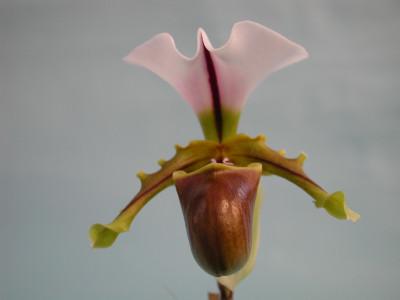 Paphiopedilum spicerianum (Jgpfl.)