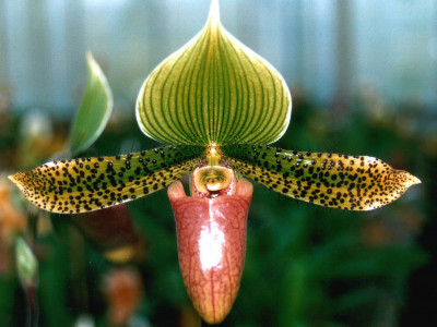 Paphiopedilum Supersuk 'Celle' S.M./D.O.G.