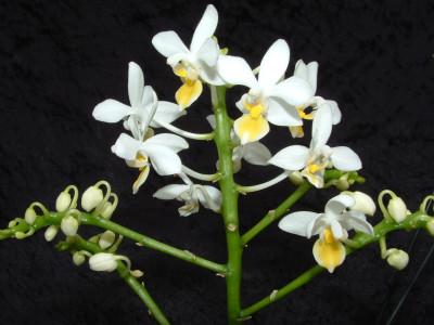 Phalaenopsis equestris 'aurea'