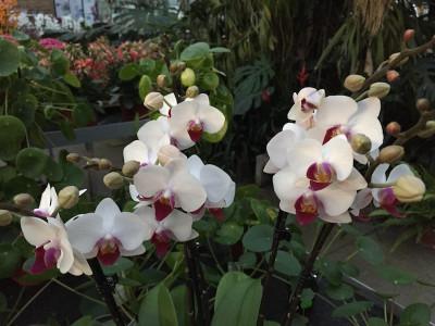 Phalaenopsis Daisy (4-5 Rispen)
