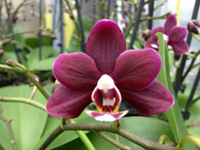 Phalaenopsis Little Black Pearl
