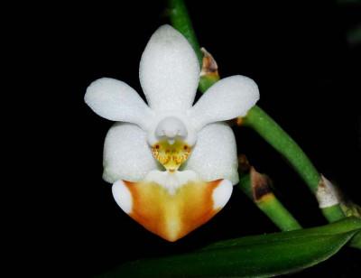 Phalaenopsis lobbii (Jgpfl.)