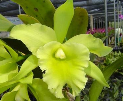 Brassolaeliocattleya Port of Paradise 'Emerald Isle FCC/AOS
