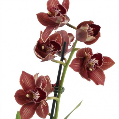Cymbidium Dark Freak 'Mud in the Eye' (2-3 Rispen)