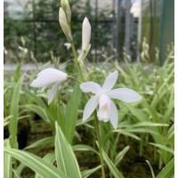 Bletilla striata alba 'variegata'