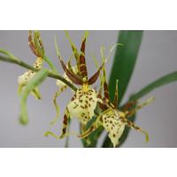 Brassia Eternal Wind 'Summer Dream' (Jungpflanze)
