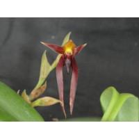 Bulbophyllum nymphopolitanum