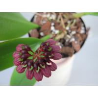 Bulbophyllum corolliferum
