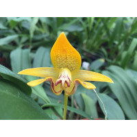 Bulbophyllum dearai
