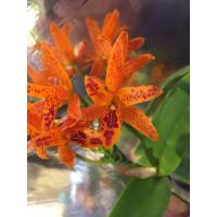 Cattleya aurantiaca 'Mishima Spot'  (Jgpfl.)
