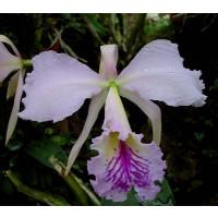 Cattleya labiata (Jgpfl.)