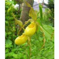 Cypripedium pubescens
