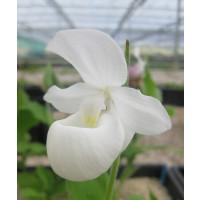 Cypripedium reginae 'alba'