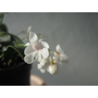 Dendrobium aberrans