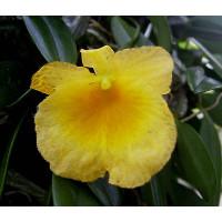 Dendrobium aggregatum