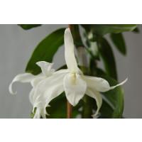 Dendrobium superbum 'album'
