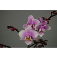Doritaenopsis Little Pink Girl