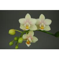 Doritaenopsis Sogo Bianca (2 Rispen)