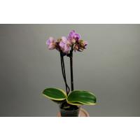 Doritaenopsis Sogo Vivien 'marginata'