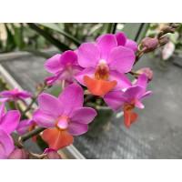 Doritaenopsis Table Mystery