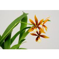 Epidendrum vitellinum x (tripunctatum x semialperta)